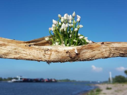 Bloemetjes groeien uit tak uiterwaarde Beuningen