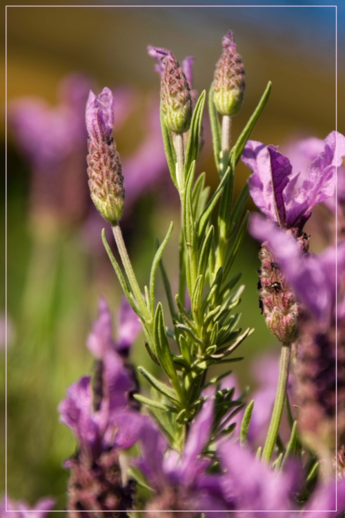 Paarse bloem Lavandula Stoechas