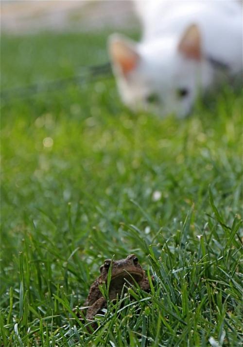 Witte poes ziet kikker